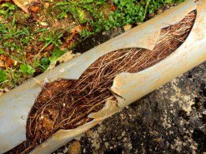 Do Trees Break Sewer Lines?